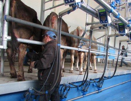 А много ль корова  дает молока?
