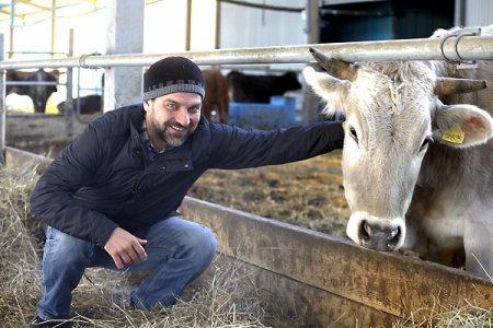 В краю непуганых  коров
