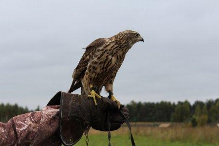 Началась выдача разрешений на охоту с ловчими птицами на территории Нижегородской области